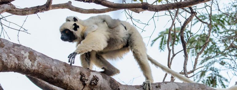 Le lémurien de Madagascar, une espèce emblématique à l'honneur d'un safari photo